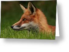 Yearling Fox Greeting Card by Jacqui Collett