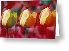 Yellow And Red Tulip Blooms Greeting Card