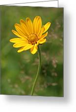 Yellow Aster Greeting Card