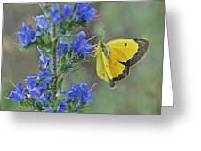 Yellow Cabbage Butterfly Greeting Card