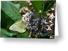 Yellow Cabbage Moth Greeting Card