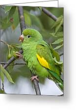 Yellow-chevroned Parakeet Brotogeris Greeting Card