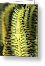 Yellow Commensal Shrimp On Crinoid Greeting Card