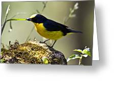 Yellow-crowned Euphonia Greeting Card