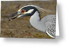 Yellow Crowned Night Heron With Catch Greeting Card
