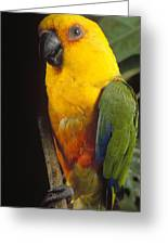 Yellow-faced Parrot Amazona Xanthops Greeting Card
