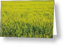 Yellow Field Of Canola Greeting Card