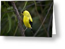 Yellow Finch - Artist Cris Hayes Greeting Card