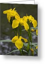 Yellow Flag Iris (iris Pseudacorus) Greeting Card