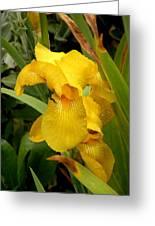 Yellow Iris Tasmania Australia Greeting Card