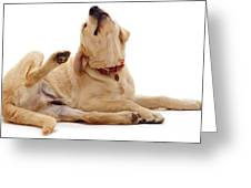 Yellow Labrador Scratching Greeting Card by Jane Burton