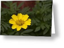 Small Yellow Zinnia Greeting Card