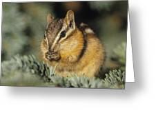 Yellow Pine Chipmunk, Kananaskis Greeting Card