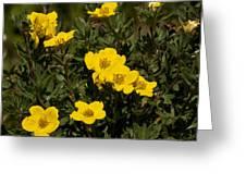 Yellow Potentilla Or Cinquefoils  Greeting Card