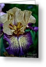 Yellow  Purple Iris Greeting Card