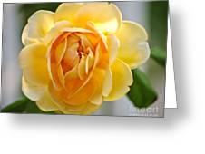 Yellow Rose Blooming Greeting Card
