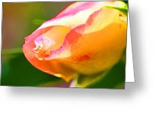 Yellow Rose Tipped In Pink Greeting Card