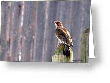 Yellow-shafted Flicker Posing Greeting Card