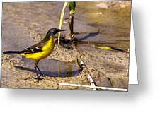 Yellow Wagtail Greeting Card