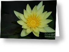 Yellow Waterlily - Nymphaea Mexicana - Hawaii Greeting Card