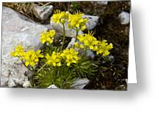 Yellow Whitlow-grass (draba Aizoides) Greeting Card