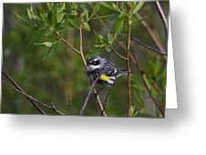 Yellowrumped Warbler Greeting Card