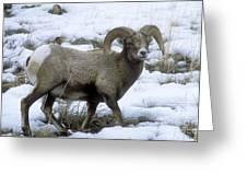Yellowstone Big Horn Sheep Greeting Card