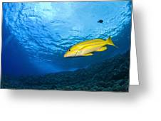 Yellowtail Snapper, Molokini Crater Greeting Card