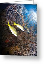 Yellowtail Snappers And Sea Fan, Belize Greeting Card