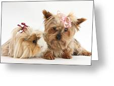 Yorkshire Terrier And Guinea Pig Greeting Card