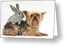 Yorkshire Terrier And Young Silver Greeting Card