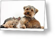 Yorkshire Terrier Dog And Baby Rabbits Greeting Card