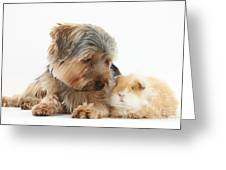 Yorkshire Terrier Dog And Guinea Pig Greeting Card