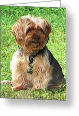 Yorkshire Terrier In Park Greeting Card
