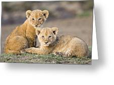Young African Lion Cubs  Greeting Card