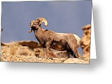 Young Bighorn Greeting Card
