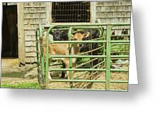 Young Calf In Fence Pen Near Barn Summer Maine Greeting Card