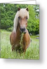 Young Chestnut Icelandic Horse Greeting Card