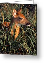 Young Deer Laying In Grass Greeting Card