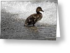 Young Duck On The Beach Greeting Card
