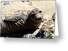 Young Elephant Seal Molting . 7d16091 Greeting Card by Wingsdomain Art and Photography