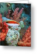 Young Forster's Hawkfish Greeting Card