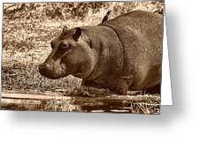 Young Hippo Greeting Card