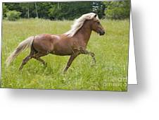 Young Icelandic Horse In A Trot Greeting Card