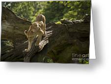 Young Lion Stalking Greeting Card