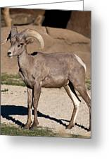 Young Male Bighorn Greeting Card