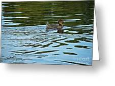 Young Male Garganey Greeting Card