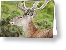 Young Red Deer Greeting Card
