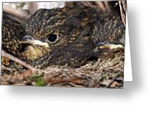 Young Robins Greeting Card