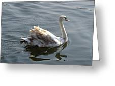Young Swan Greeting Card